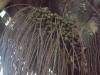 Frutos de Oenocarpus bacaba