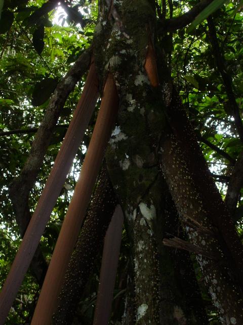 Raizes áereas - Socratea exorrhiza - paxiuba