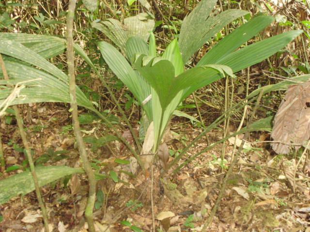 Cyclantaceae