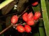 Frutos de Lepidocaryum tenue