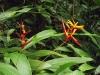 Heliconia acuminata - Hábito