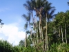 Bactris riparia